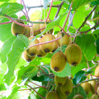 Stock Photo: Big cluster of kiwi fruit on tree