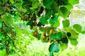 Big cluster of kiwi fruit on the tree — Stock Photo