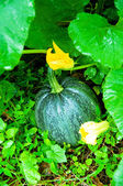 Ripen pumpkin on the field — Stock Photo