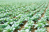 Many rows of green cabbage — Stock Photo
