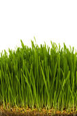 Green grass isolated on the white — Stock Photo
