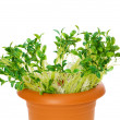 Green saplings growing in the clay pot — Stock Photo