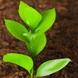 Stock Photo: Green seedling growing out of soil