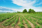 Tomato field on bright day — Stock Photo