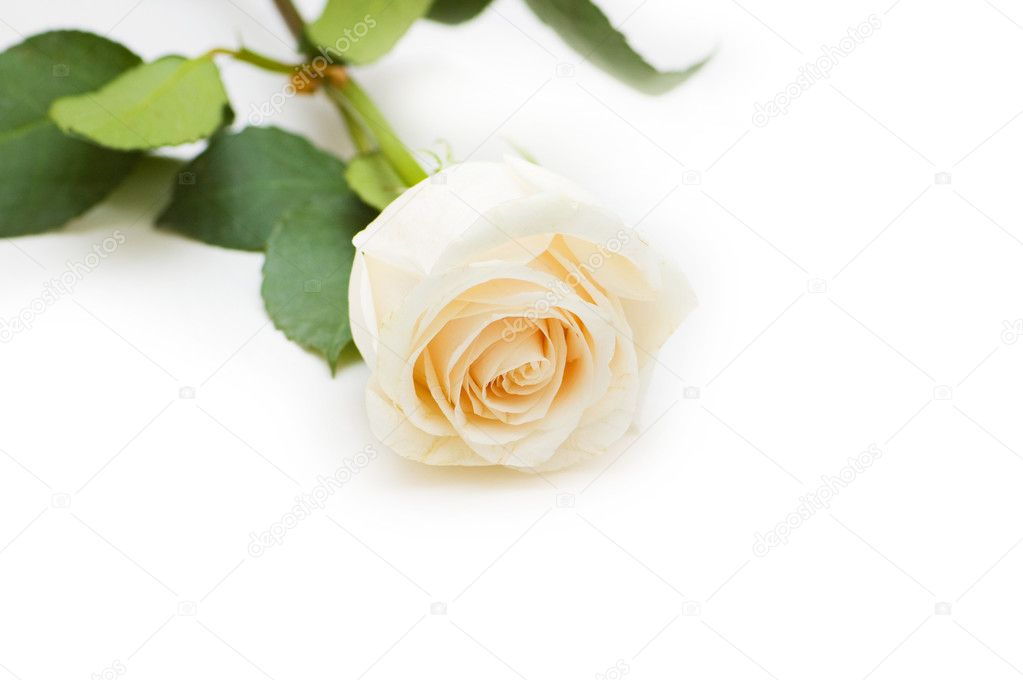 Single rose isolated on the white background — Stock Photo #1921138