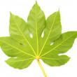 Green fig leaf isolated on the white — Stock Photo #1936624