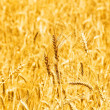 Wheat field on the bright day — Stock Photo #1937691