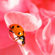 Ladybug on the red rose petals — Stock Photo
