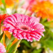 Stock Photo: Red gerbera flower agaisnt