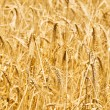 Wheat field on the bright day — Stock Photo #1947859