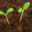 Green seedling growing out of the soil — Stock Photo #1949633