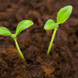 Green seedling growing out of the soil — Stock Photo