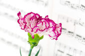 Red carnation flower on musical notes — Stock Photo