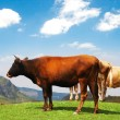 Three cows at the top of the hill — Stock Photo #1952014