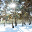 Forest on a bright sunny winter day - Stock Photo
