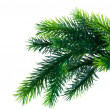 Close up of fir tree branch isolated - 
