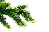 Zamknij z gałęzi drzewa jodły na białym tle — Zdjęcie stockowe