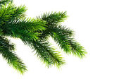 Vicino del ramo di abete albero isolato — Foto Stock