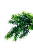 υποκατάστημα δέντρο έλατου απομονωθεί σε κοντινό πλάνο — Φωτογραφία Αρχείου