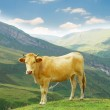 Brown cow in the mountains — Stock Photo #2524864