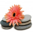 Red gerber daisy and pebbles isolated — Foto de Stock