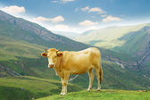 Brown cow in the mountains — Stock Photo