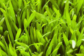 Close up of green grass - — Stock Photo