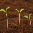 Three green seedlings growing out — Stock Photo