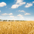 Wheat field on the bright day — Stock Photo #2603031