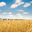 Stock Photo: Wheat field on the bright day