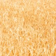 Wheat field on the bright day — Stock Photo #2603452
