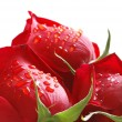 Roses with water  drops isolated - 