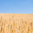 Wheat field on the bright day — Stock Photo #2603688