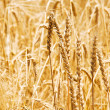 Close up of wheat on bright  day - Stock Photo