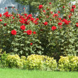 Rose garden on the bright day — Stock Photo #2604480