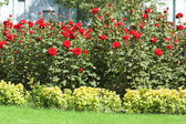 Rose garden on the bright day — Stock Photo