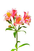 Colourful lilies isolated on the white — Stock Photo