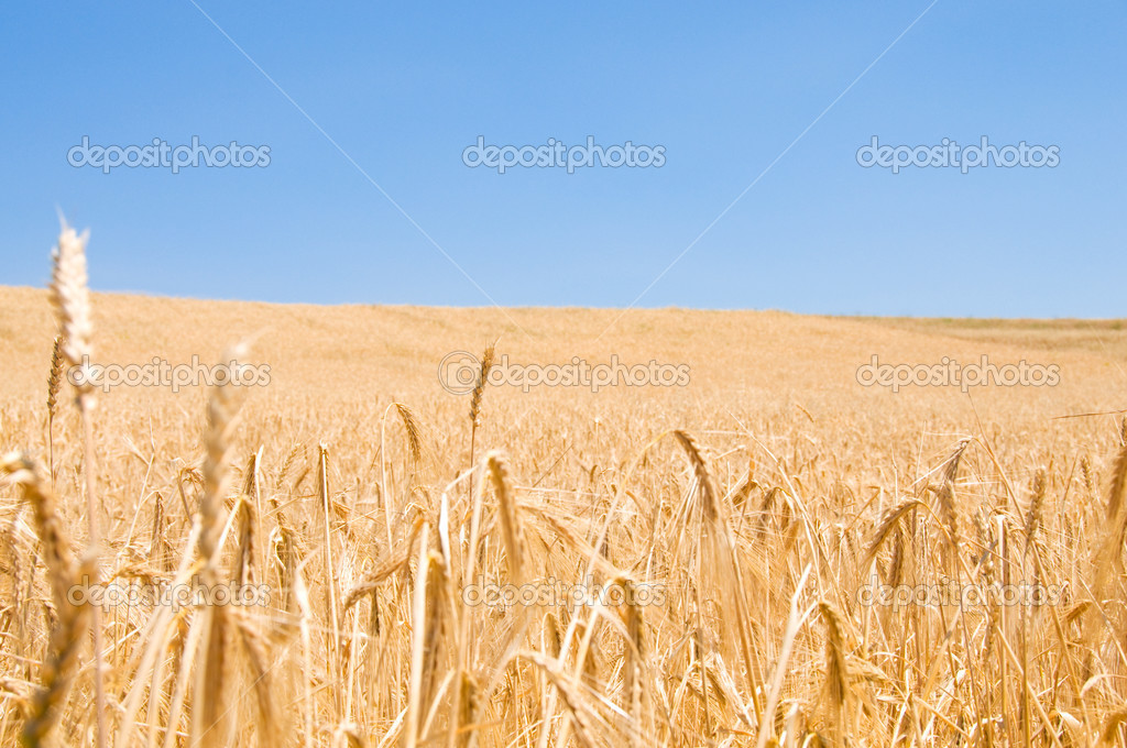 Wheat field on the bright summer day — Stock Photo #2603688