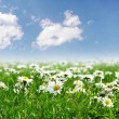 Field of daisies with bright sun — Photo