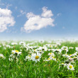 Field of daisies with bright sun — Stock Photo