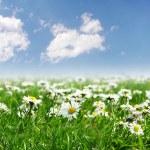 campo de margaritas con sol brillante — Foto de Stock