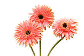 Three flowers isolated on the white — Stock Photo