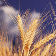 Wheat ears against the blue sky — 图库照片