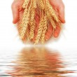 Hands holding wheat ears isolated — Stock Photo