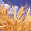 Stock Photo: Wheat ears against cloudy sky