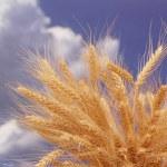 espigas contra el cielo azul — Foto de Stock