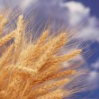 Wheat ears against the blue sky — Foto de Stock