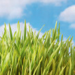 Green grass against the bright  sky — Stock Photo