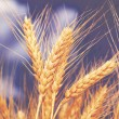 Stock Photo: Wheat ears against the blue sky