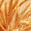 Close up of wheat ears — Stock Photo